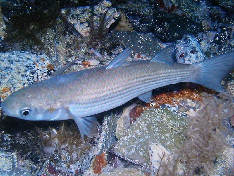 Фото черноморский лосось кумжа