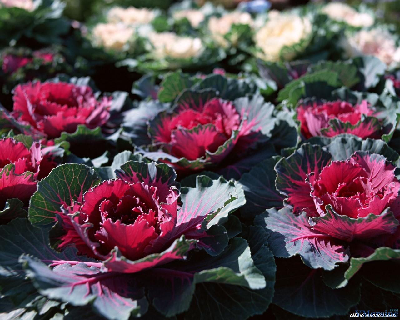 Капуста декоративный выращивание из семян 541