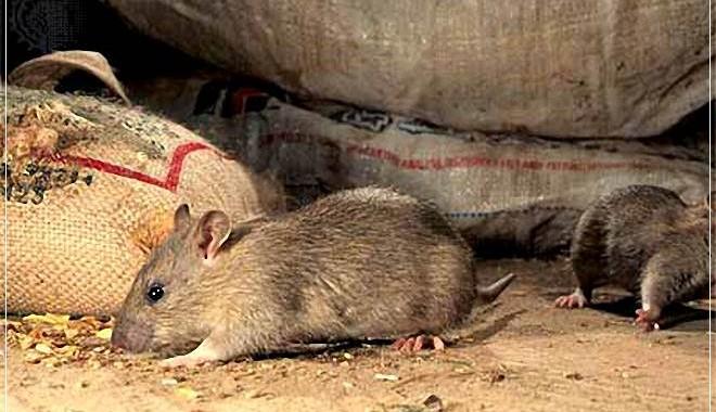 лениндград элеватор крысы кошки назвать